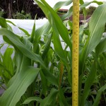 Measuring the height of sweetcorn
