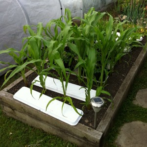 Sweetcorn growing in a raised bed