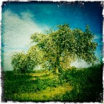 A crab apple tree growing in a hedgerow